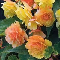 Discount <b>Begonia</b> Seeds | <b>Begonia</b> Seeds 2019 on Sale at DHgate ...