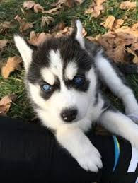 baby siberian husky with blue eyes. Plain Husky Siberian Husky Puppy For Sale In UNION MO ADN59527 On PuppyFinder In Baby With Blue Eyes D