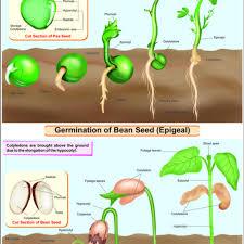 Germination Of Seed Bean Pea Hospital Equipment