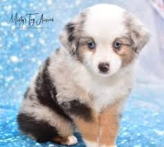 when our family decided to get an aussie puppy i started searching for responsible and loving breeders i came across misty s toy aussies