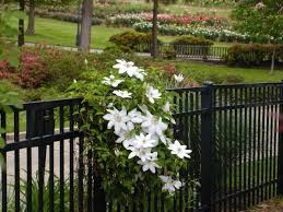 clematis clematis spp sun to partial shade deciduous to semi evergreen many species cultivars keep roots cool in shade top in sun some