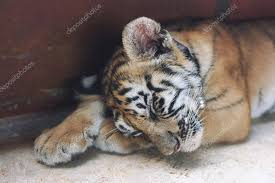 sleeping cute baby tiger small tiger cub funny baby tiger slee stock photo
