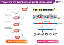 Difference Between Prokaryotic And Eukaryotic Transcription