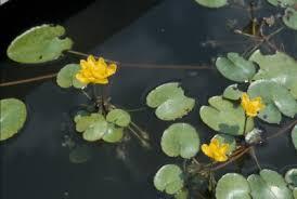 Nymphoides peltata - Michigan Flora