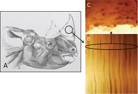 Creating artificial Rhino Horns from Horse <b>Hair</b>   Scientific Reports