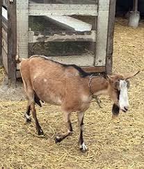 Alpine Goat Wikipedia