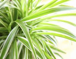 photo bills spider plants brisbane office plants