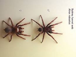 male and female sydney funnel web spiders
