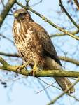 Images & Illustrations of common buzzard