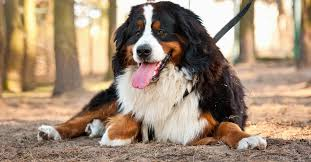 white bernese mountain dog. Contemporary Mountain Large Tan Black And White Bernese Mountain Dog Laying On A Forest Floor On White N