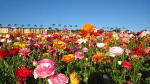 the flower fields at carlsbad ranch 2017 video slideshow california spring