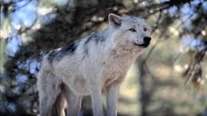 1920x1080 white wolf hd wallpaper white wolf desktop hd wallpaper