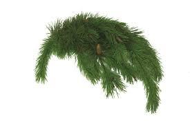 Shore Pine Bough
