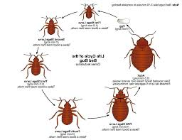bed bugs size photo 3 of superior bug actual images the life cycle sizes18 bug