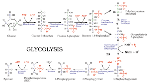 powering the cell cellular respiration and glycolysis opencurriculum