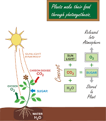 Photosynthesis Alphabet Chart Photosynthesis Kidspressmagazine Com
