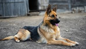 German Shepherd Breed Standards Size Characteristics And