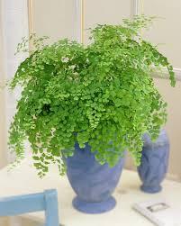 3 maidenhair fern best office plants no sunlight