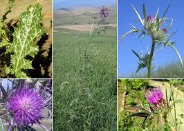 Notobasis syriaca (L.) Cass. - Portale sulla flora del Parco Nazionale ...