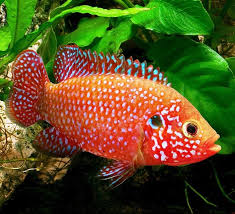 African Red Jewel Fish - Home   Facebook