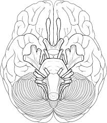 Small Picture Learn the cranial nerves with this coloring worksheet Pinteres