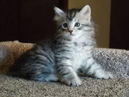 siberian kitten for queenstown