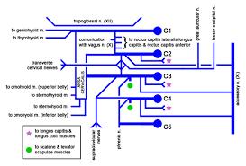 Cervical Plexus Wikipedia