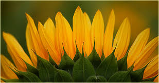 Sonnenblumenmythologiegedichte Sonnenblume Goethe A Schnitt