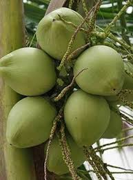 why is a coconut tree useful agrave curren not agrave curren iexcl agrave curren frac agrave yen agrave curren agrave curren frac agrave curren reg agrave curren sup agrave yen agrave curren uml agrave curren frac agrave curren deg agrave curren iquest agrave curren macr agrave curren sup  coconut tree jpg