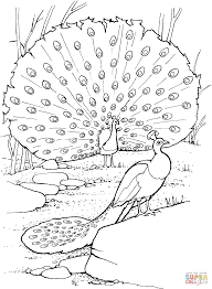 Peacock Pictures Coloring Pagesll