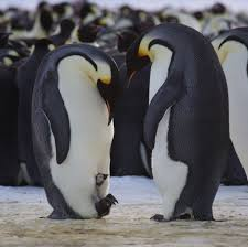 baby emperor penguin hatching. The First Chick Of Season Spotted At Auster Emperor Penguin Rookery In Baby Hatching