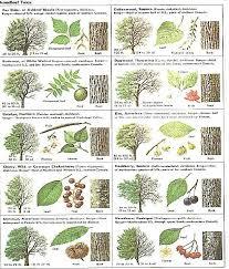 Tree Identification Chart Broadleaf Tree Guide Leaf Identification Trees To Plant