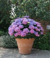 Flowering shrubs like this hydrangea (a great shade plant) do well in  containers  just make sure the pot is big enough.