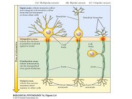 The Nervous System Is Composed Of Cells Ppt Video Online Download