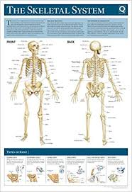 Human Skeleton Wall Chart Human Anatomy Wallchart The Skeletal System Amazon Co Uk