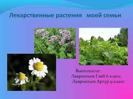 Презентация Лекарственные растения моей семьи
