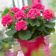 you can not exclude geraniums from the list of heat tolerant flowers they love the sun geraniums are perennial in tropics in usda zones 9 and above and