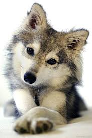 cute baby wolf