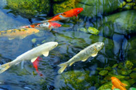 fish garden. enjoy the relaxing sound of fountain and watch fish swim by in your garden e