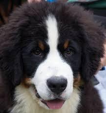 bernese mountain dog black tan image