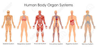 Medical Education Chart Of Biology For Human Body Organ System