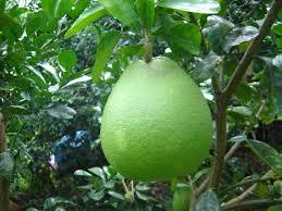 15 loại cây ăn quả truyền thống của người Việt – Siêu thị phân bón nhập khẩu