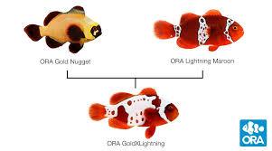 Clownfish Ora