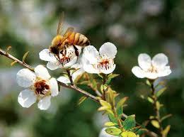 Kết quả hình ảnh cho ai hay dùng mật ong manuka