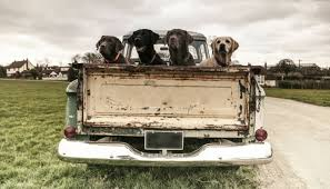 Please Don't Drive With Your Dog in the Back of Your Truck - Puppy Leaks
