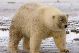 grolar bear size eureka the phrase that is proudly shouted whenever humanity had