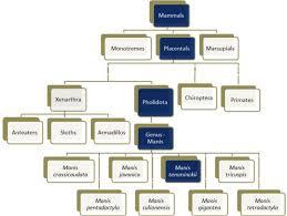 Pangolin Classification