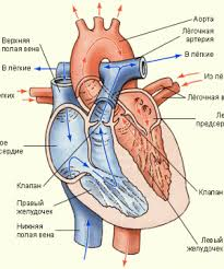 СКАЧАТЬ РЕФЕРАТ НА ЛЮБУЮ ТЕМУ БЕСПЛАТНО Страница  studying and drawing heart and its structure