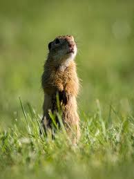 dealing with gophers in the garden