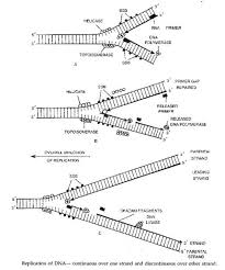 Dna Replication Notes On Dna Replication Repair And Recombination